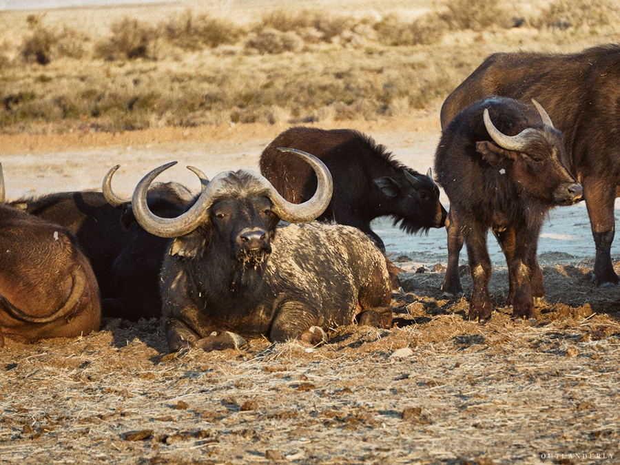 Water buffalo at the Inverdoorn game reserve
