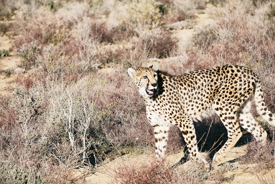 Cheetah at the Inverdoorn game reserve