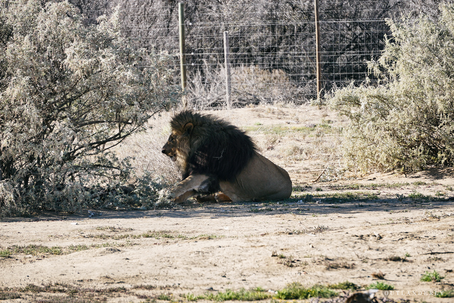 Lion at the Inverdoorn game reserve